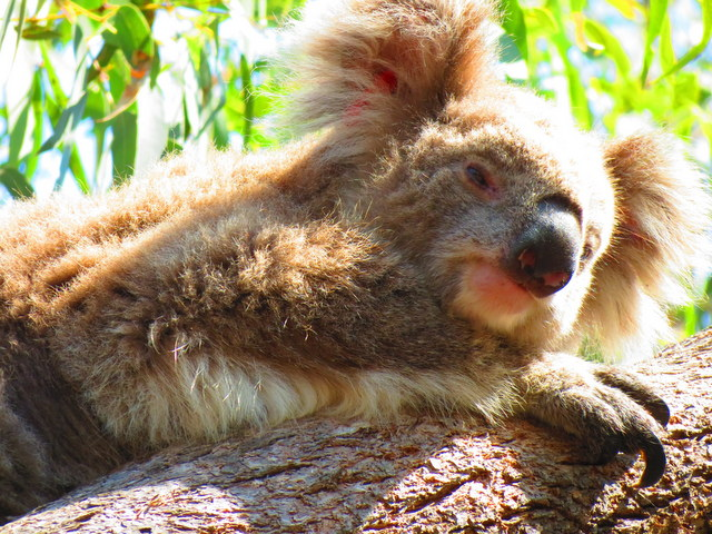 For up close and personal encounters with koalas.