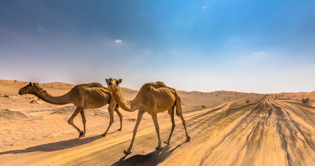 Camels in the desert near Dubai