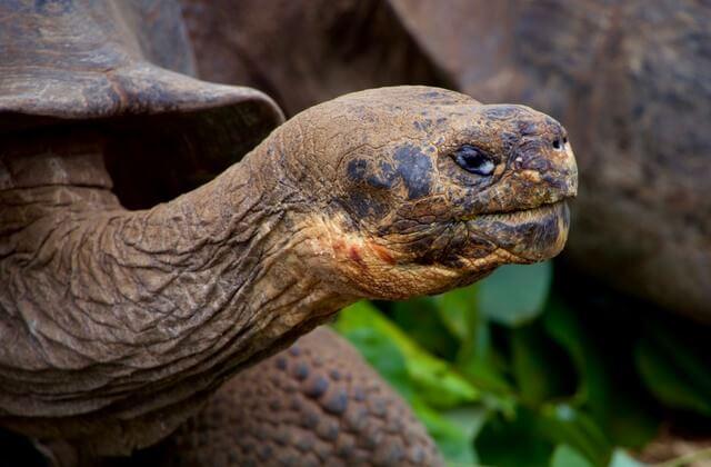 Galapagos Tortiose