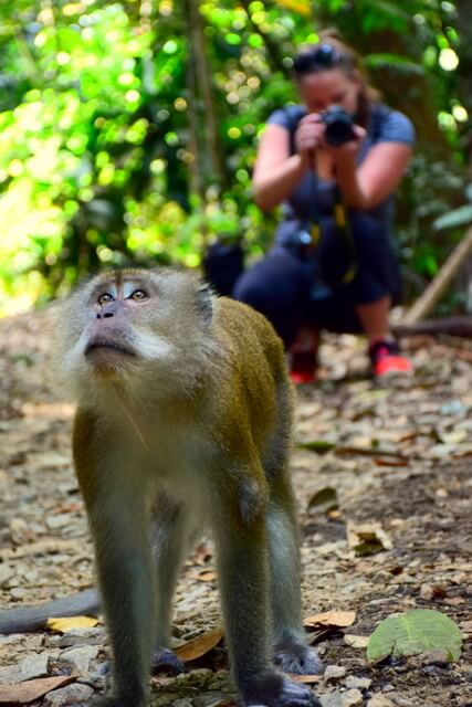 Singapore wild macaques