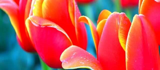 Colors of Tasmania's Tulip Season: Visiting Table Cape Tulip Farm, Wynyard