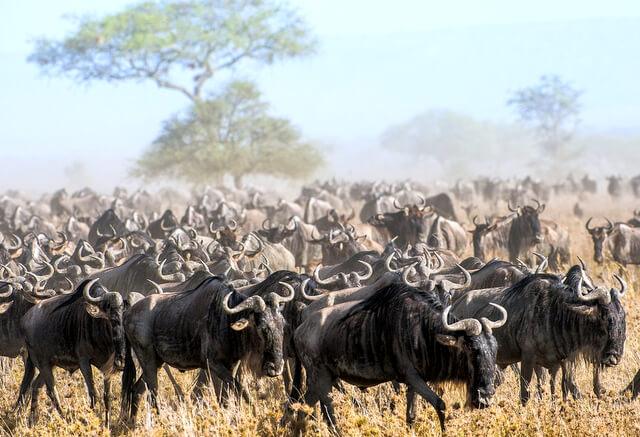 The Great Migration Kenya vs Tanzania RF