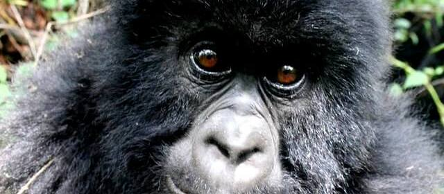 Everything You Need to Know About Gorilla Trekking in Africa: Conservation, Packing & Best Countries