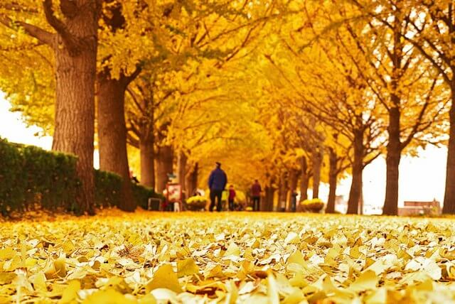 Ginko Leaves Asian natural remedy around the world