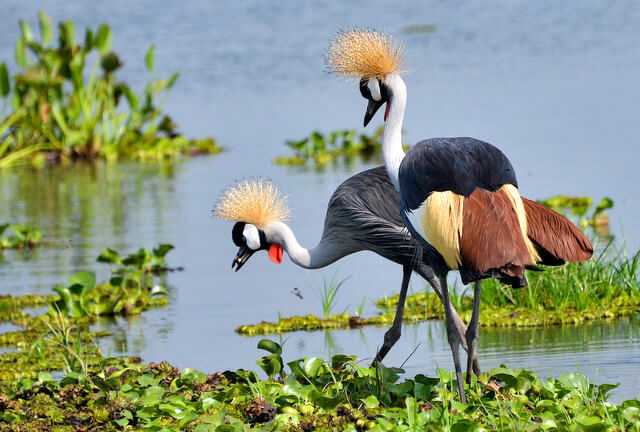 Crested Cranes, Uganda