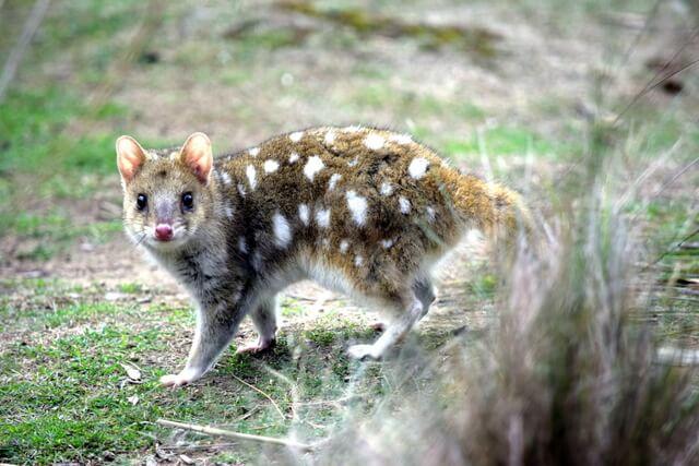 Eastern quoll Tasmania