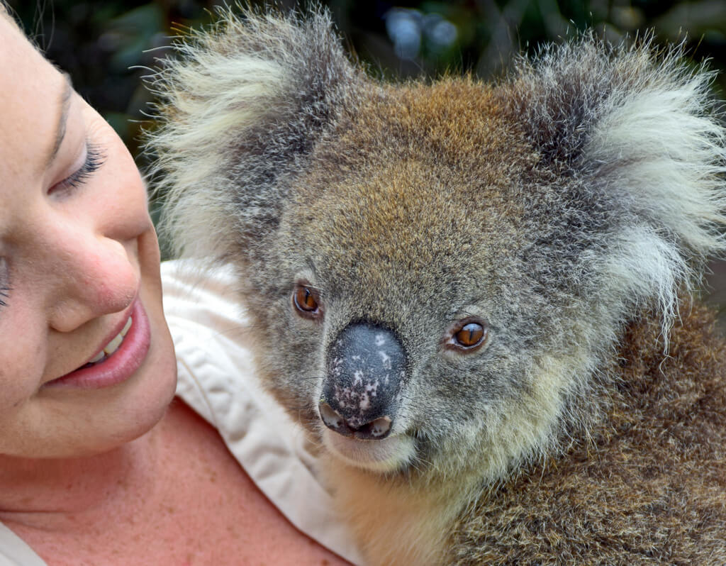 Koala Kangaroo Island