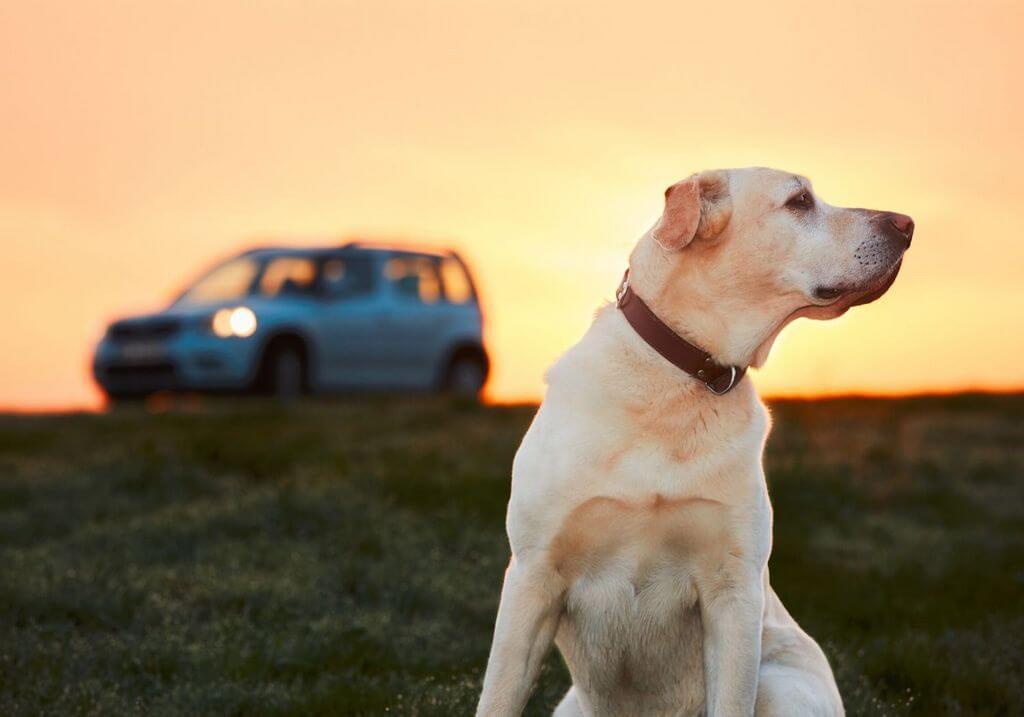Dog car roadtrip RF