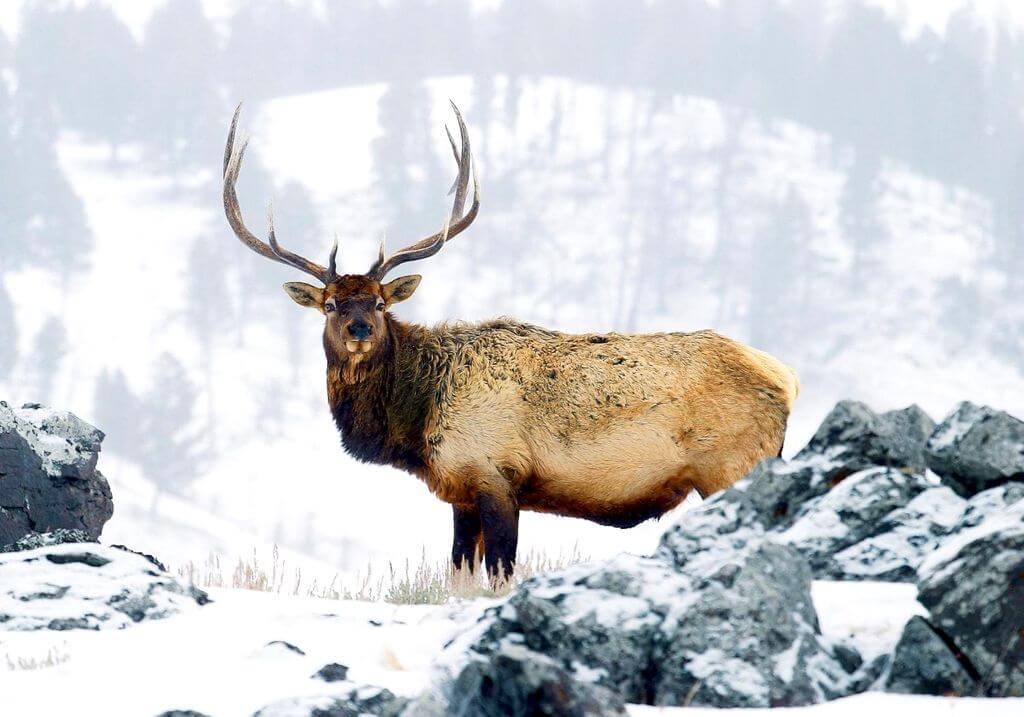 Elk Yellowstone National Park RF