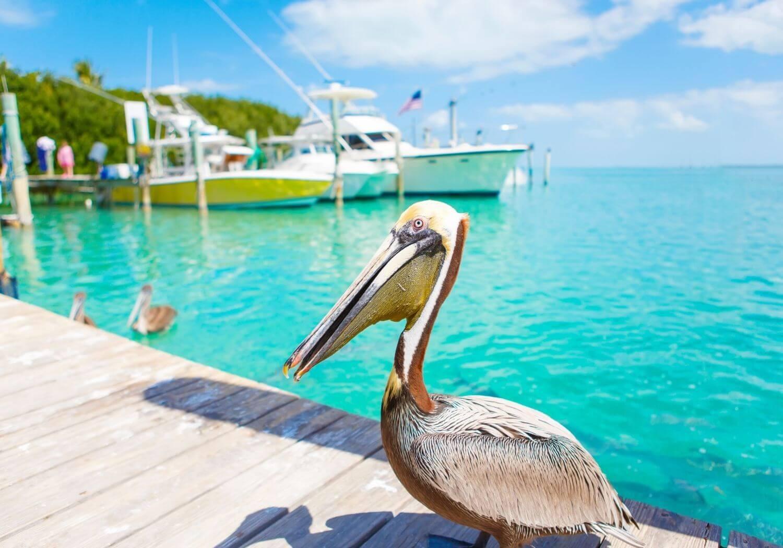 Key West Pelican RF