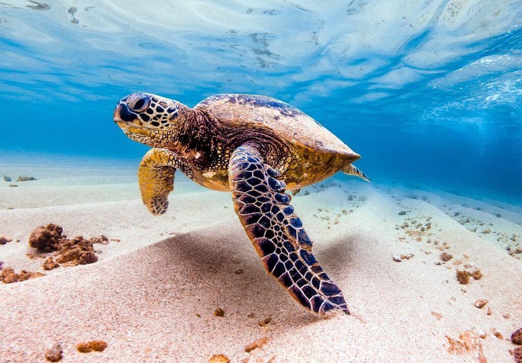 Sea turtle RF
