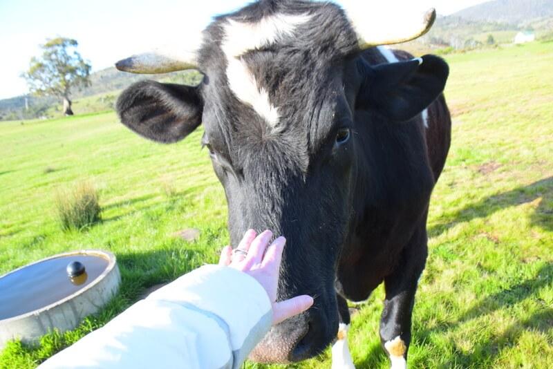 Steer at Rathmore Tasmania