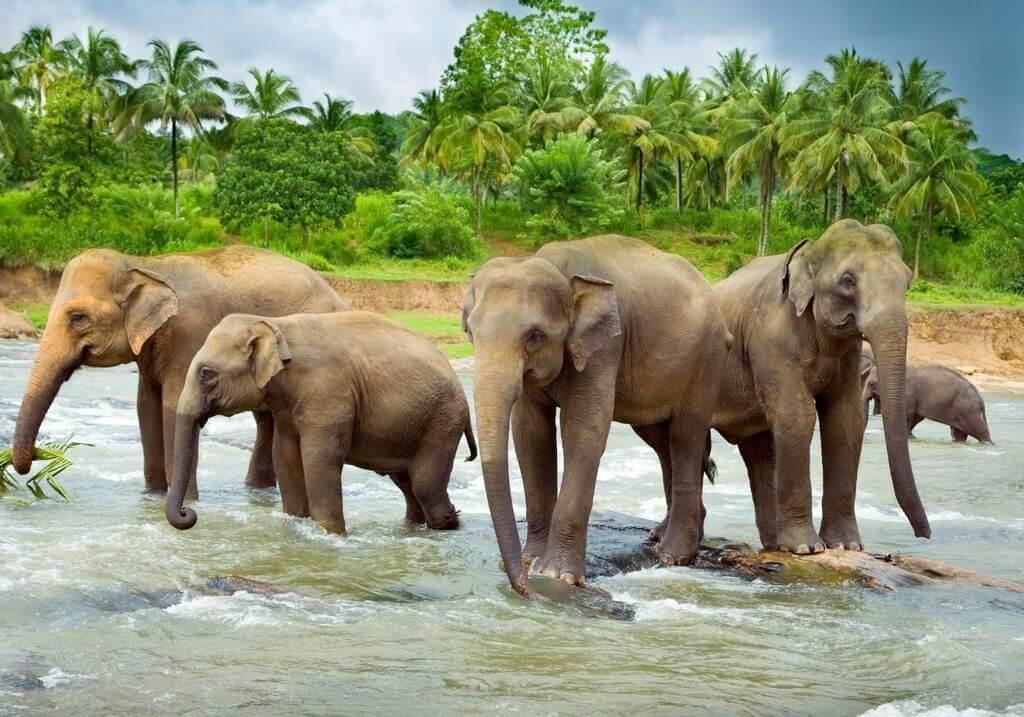 Asian elephants water RF