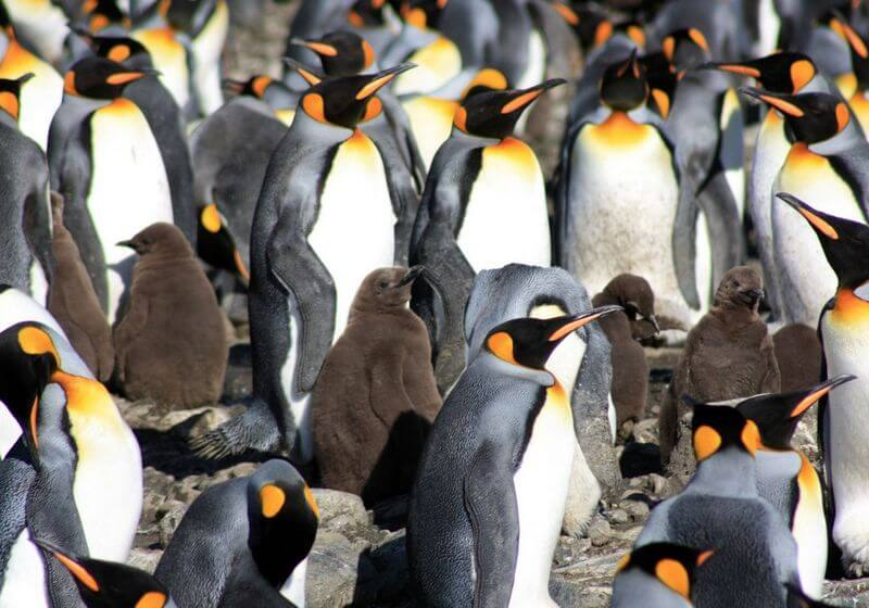 King Penguin South Georgia RF