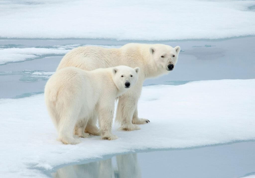 Polar bears RF