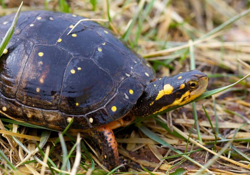 Spotted turtle RF