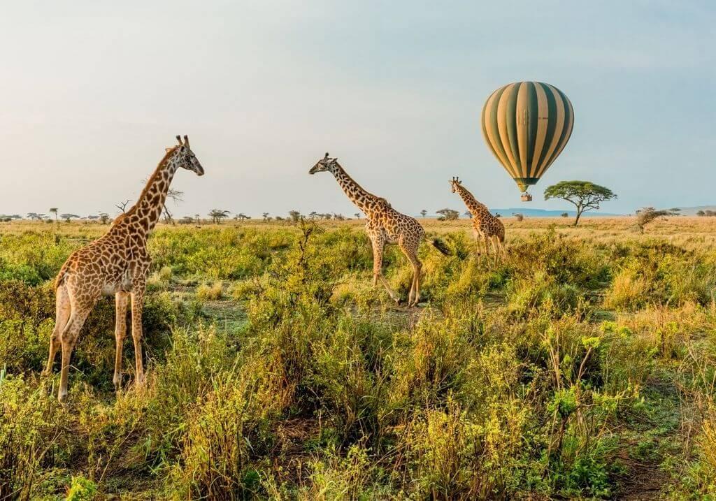 hot air balloon giraffe serengeti africa