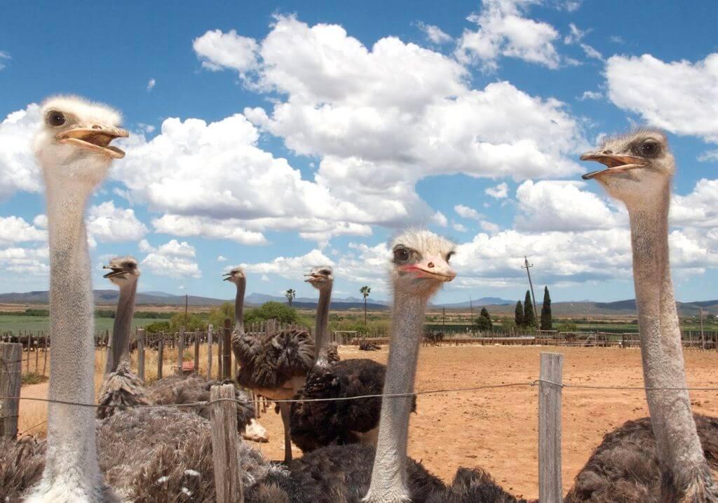 Ostrich RF