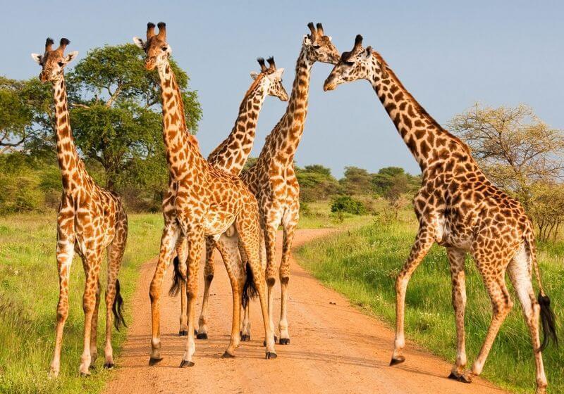 Giraffe african safari serengeti RF
