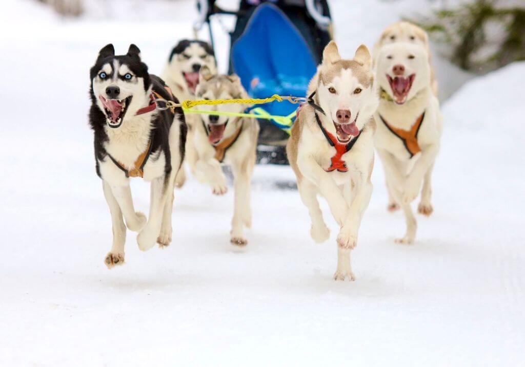 Dog sled winter snow RF
