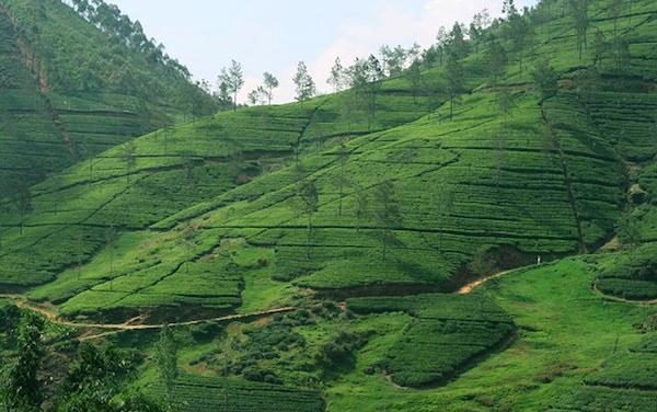 governor's mansion tea plantation