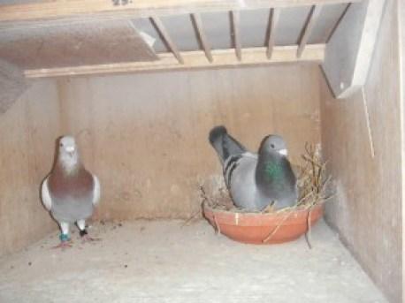 2e en 3e duif St. Vincentedited