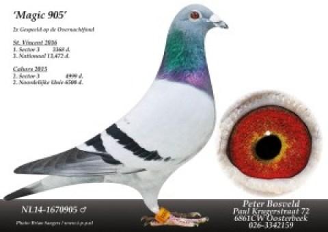 De winnende duif