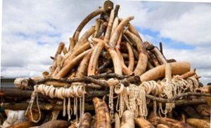 Should Malawi burn or sell ivory?