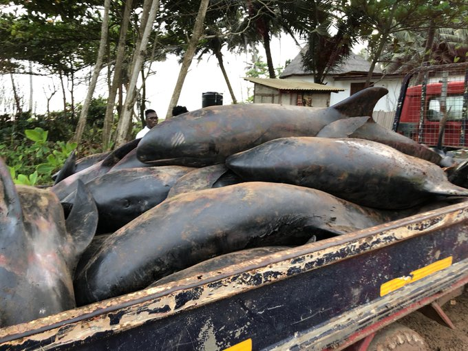 People of Axim smoke and fry washed-ashore dolphins for chop bars and market consumption