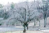 冬の紅枝垂れ桜
