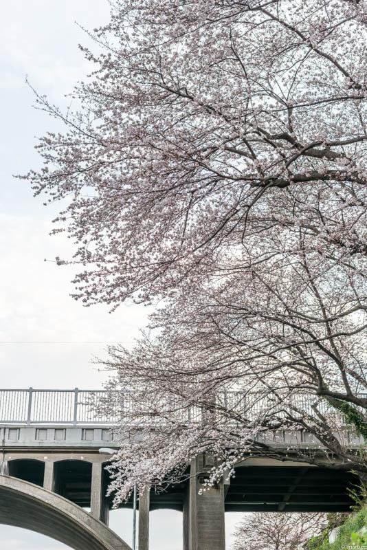 染井吉野と響橋