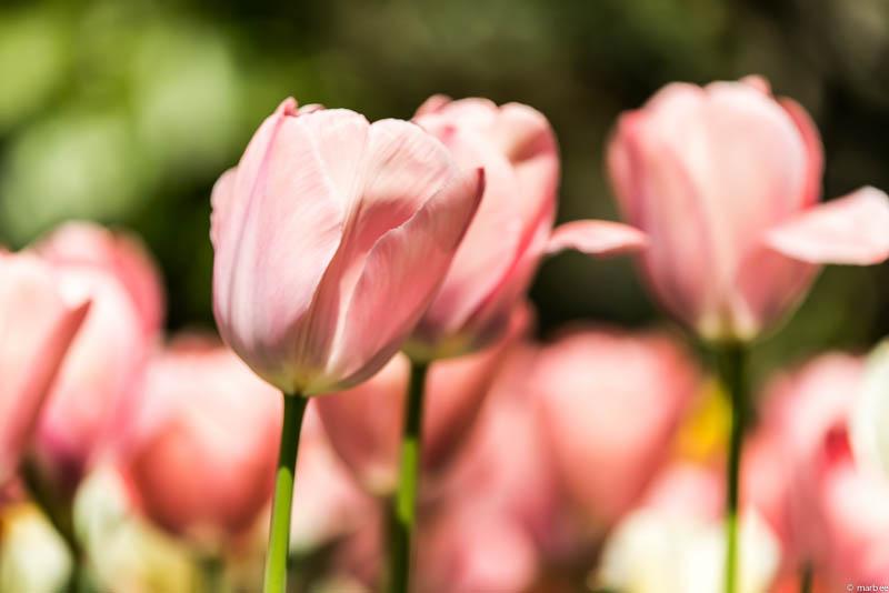 チューリップ ピンク色