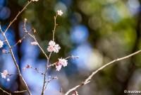 十月桜 冬に咲く桜 ひっそりと奥ゆかしい