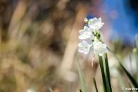 水仙 真っ白な種類もある