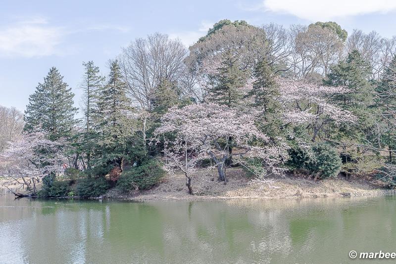 池と桜 日本の原風景
