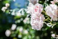 ハマミライ 都市の名前が付いた薔薇