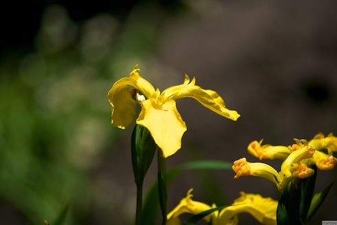黄色い菖蒲