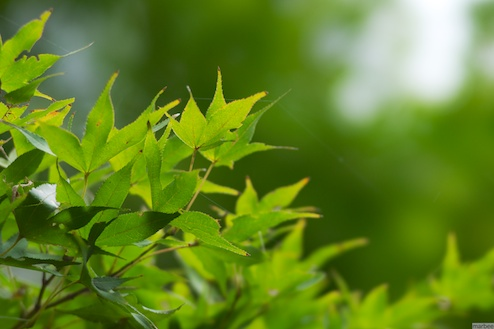 緑色の紅葉