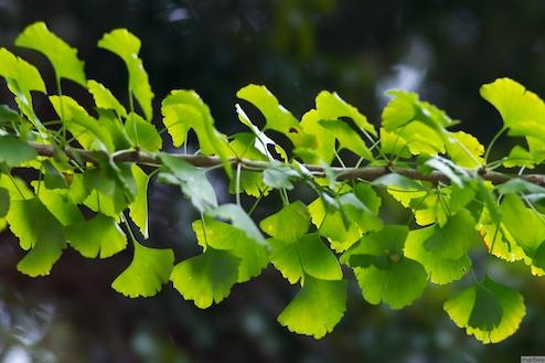 緑色の銀杏の葉