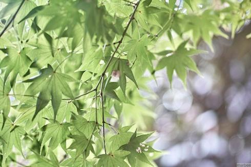 紅葉(緑)