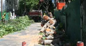 Imagen de los primeros árboles talados este lunes en la calle Notario Luis Oliver