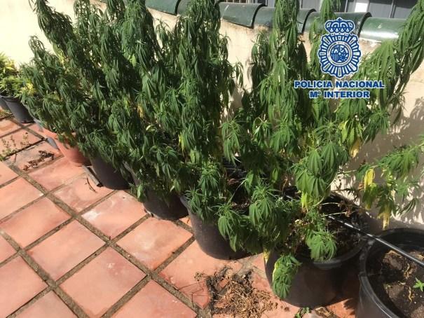 Imagen de la marihuana plantada en la azotea de la vivienda. FOTO/ CNP