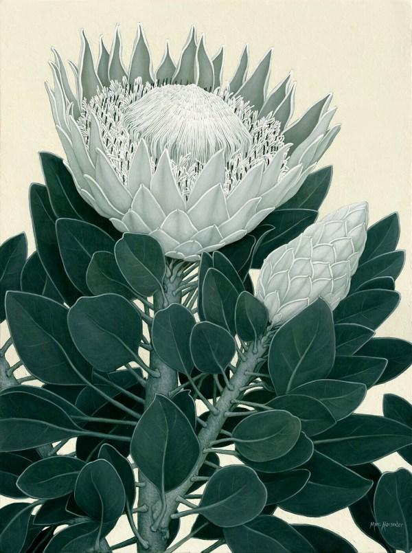 Marc Alexander | King Protea II | Flora