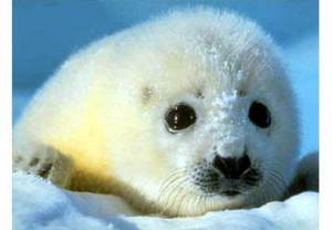 foca-cucciolo