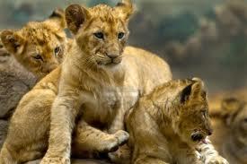 cuccioli leone