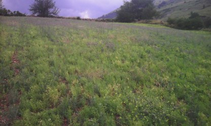 lenticchia in fiore