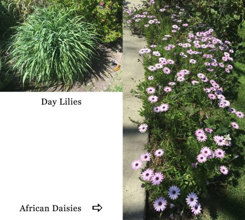 day lilies, African daisies