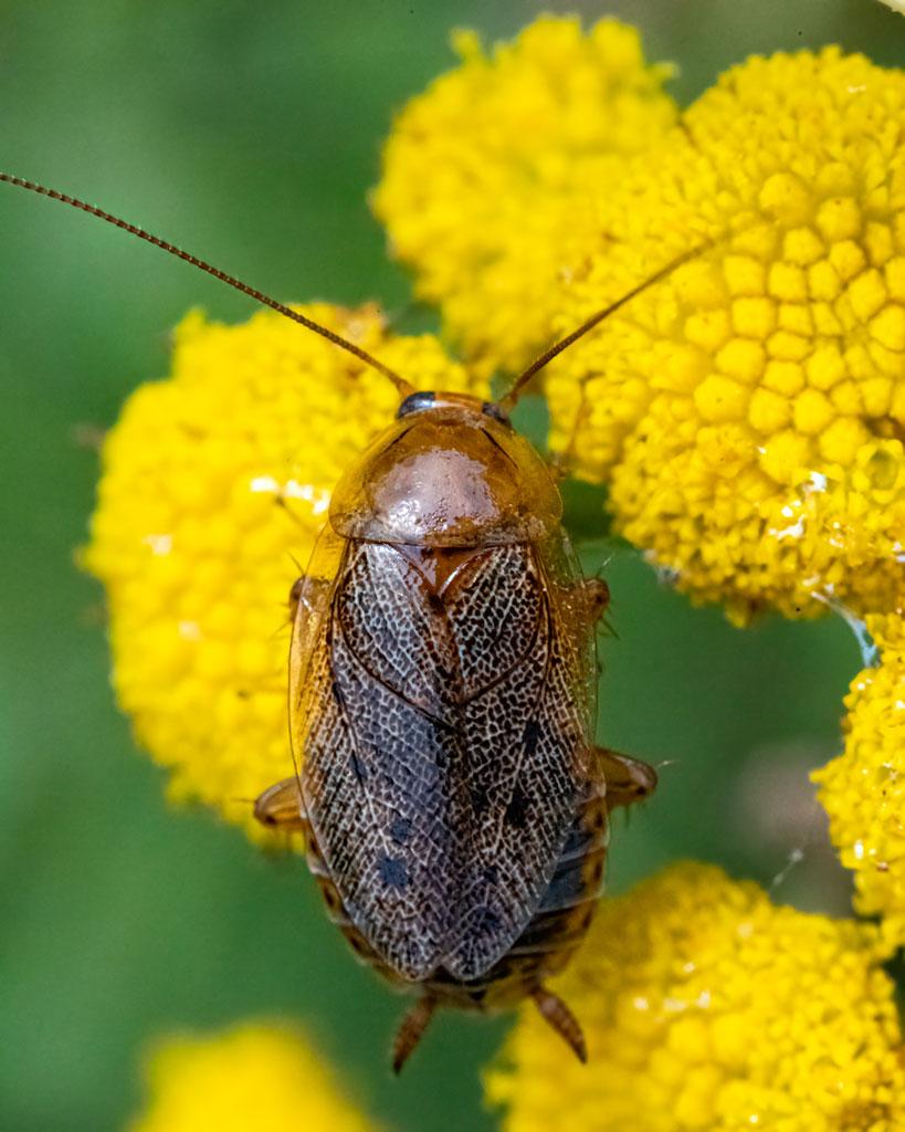 Zadomka polna (Ectobius lapponicus)