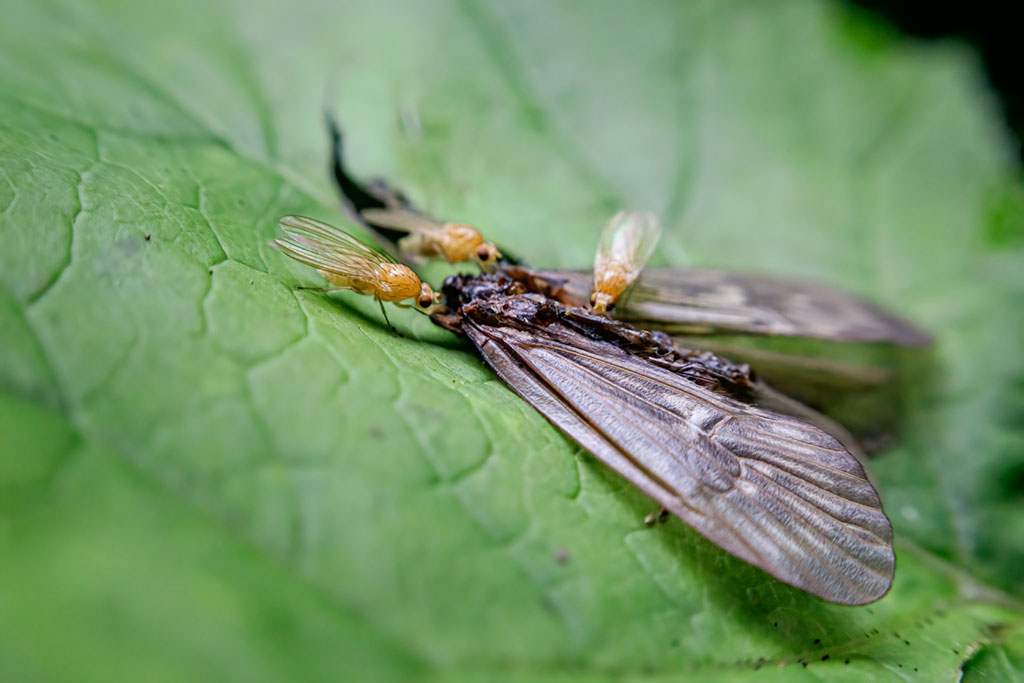 Kalnicowate (Lauxaniidae)