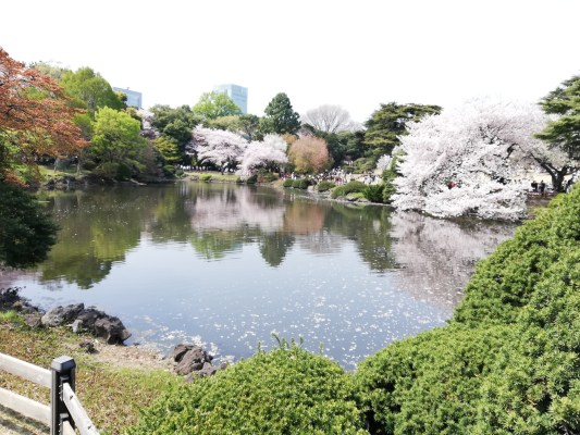 The pond at Shinjuku Imperial Gardens, Tokyo in Spring 2019. Cherry blossoms are reflected in the pond.